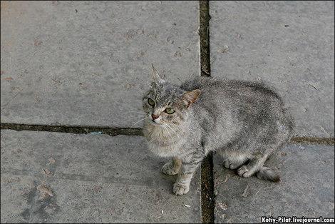 Рязанский кот