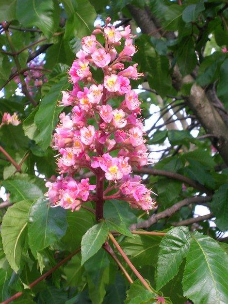 В Гайд-парке цветут каштаны