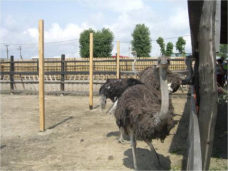 На страусиной ферме