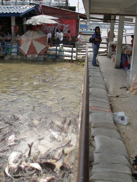 Кормежка рыбы булкой на Чаопрайе