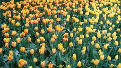 Фестиваль тюльпанов в мае