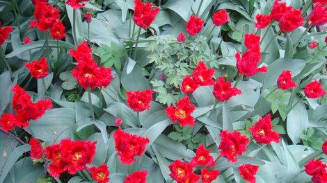 Еще тюльпаны