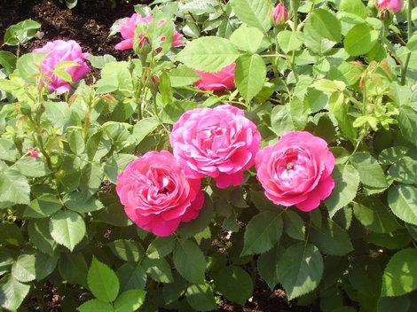 розы цветущие в парке