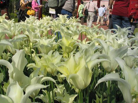 И это — тоже тюльпаны