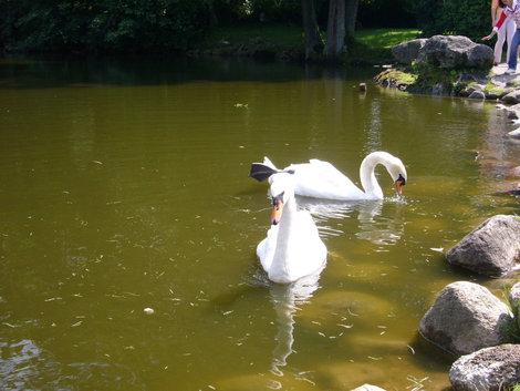 Лебеди в парке.