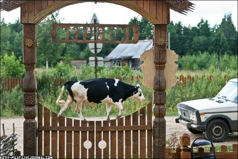 По улицам коров водили