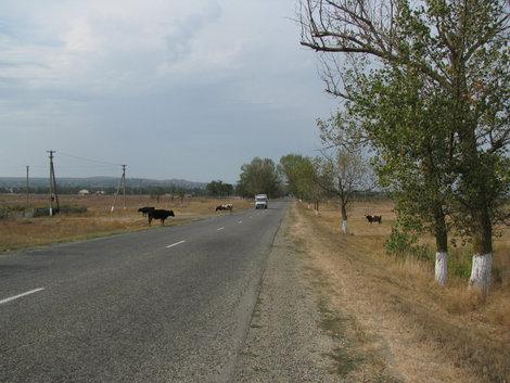 Таманские коровы