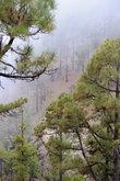 канарские сосны, в которых застревают облака, движущиеся над островом
