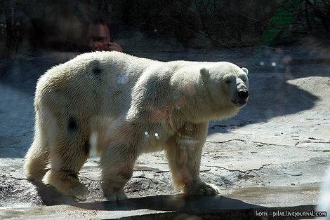 Больной белый медведь