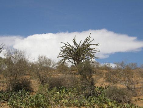 Осьминоговое дерево