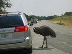 Этот австралийский страус  хочет познакомиться.