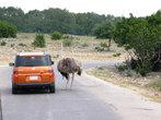 Этот страус выше машины!