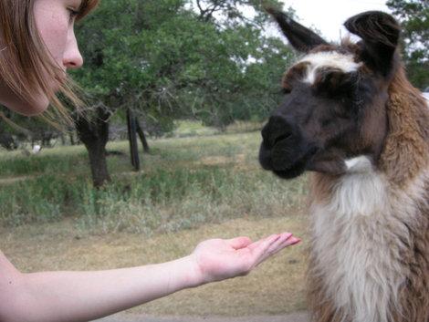 Руку протянули в окно, и дали корма ламе.