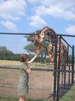 Жираф охотно есть с руки.