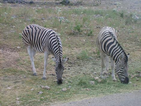 Парочка зебр.