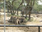 К носорогам близко нельзя подходить!