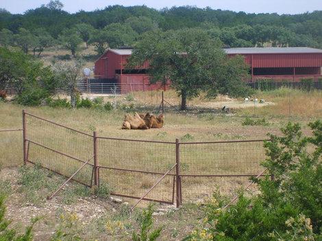 Верблюды далеко, ближе не подъехать.