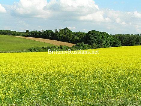 Рапсовое поле, Котсволдс, Англия