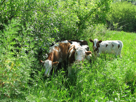 Утренние коровы