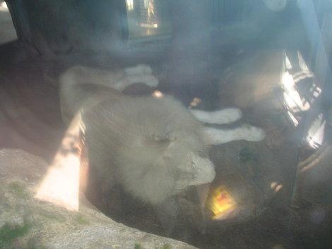 Белый лев
