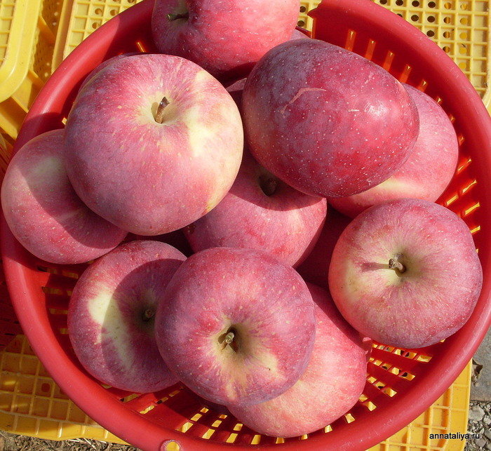 Сорт яблони корей фото
